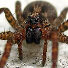 Is this a Wolf Spider or a Recluse? by Heavenandus777