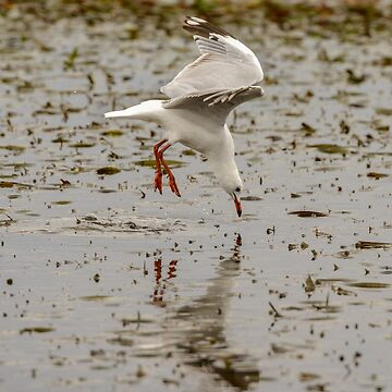 Gull Fishing 01 by fotoWerner