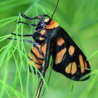 Tiger Moth by sienebrowne