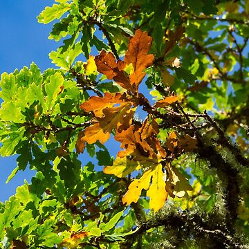 Autumn leaves of an Oak Tree in the Scottish Highlands by emergentdesigns
