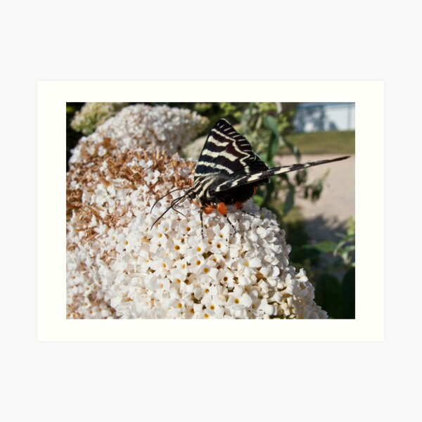 Dingy swallowtail butterfly Art Print