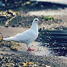 White dove. by cieloverde