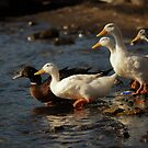 Ducks to water .... by cieloverde