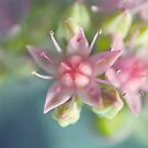 Soft sedum by Angelique Brunas