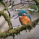 Common kingfisher (Alcedo atthis) by Stephen Liptrot
