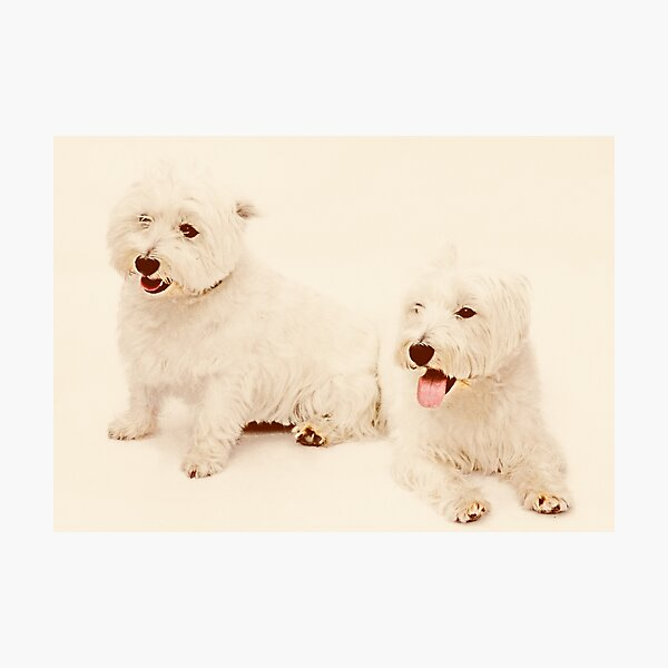West Highland Terriers Photographic Print
