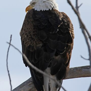Bald Eagle by Katagram