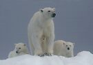 Ice Bears by Steve Bulford