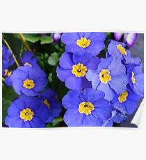 spring blue flowers. beautiful color. floral photography. Poster