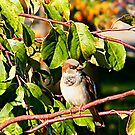 Male Sparrow by Laura S