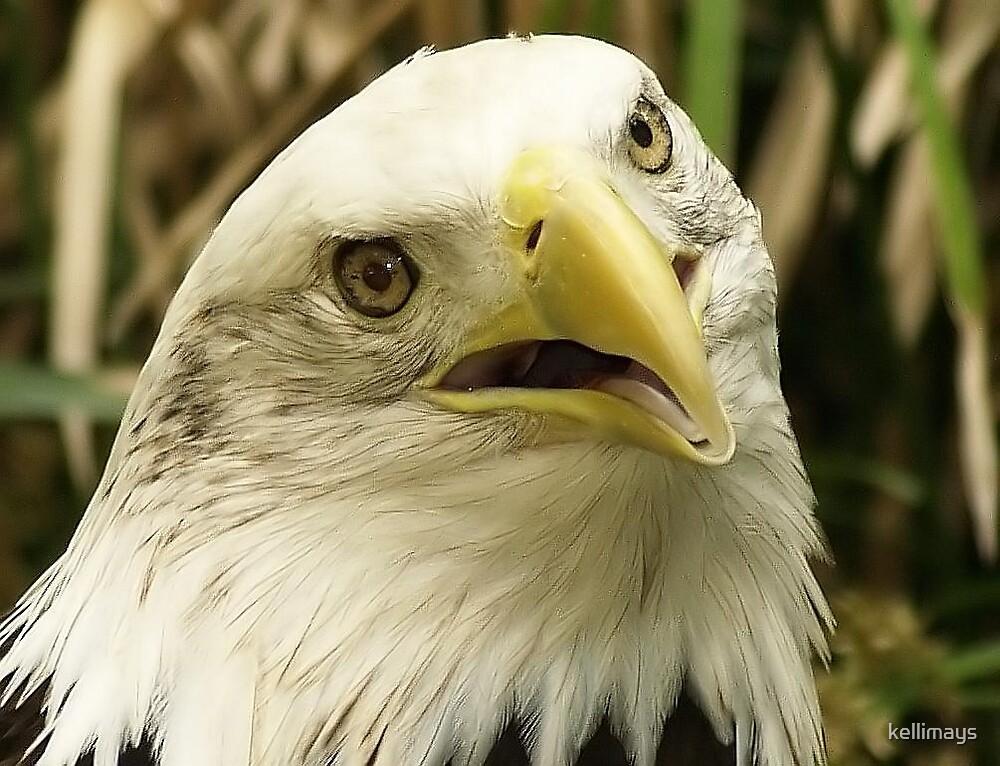 American Eagle by kellimays