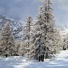 snow and tall trees by Steve plowman