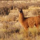 llama by Jody Johnson