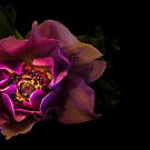 Anemone by alan shapiro