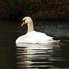 Swan by AngelaFoster