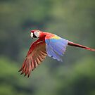 Scarlet Macaw by Rob Lavoie