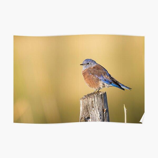 Red Bluebird -- Western Bluebird Poster
