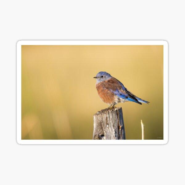 Red Bluebird -- Western Bluebird Sticker