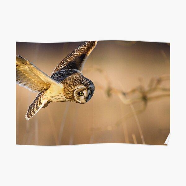 Motion Detected -- Short-eared Owl Poster