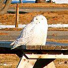 Snowy Owl by Rpnzle