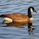 Canada Goose by Bill Miller