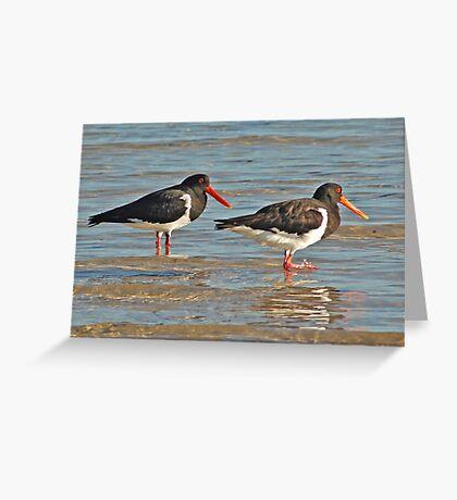 Pied Oyster Catchers, Denham, Western Australia  Greeting Card