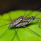 Mating Water Striders by Andrew Trevor-Jones