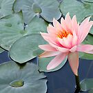 Water Lily by Dave Lloyd