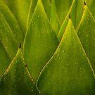 Sempervivum Hawaiian Cactus Plant by HealthyTrekking