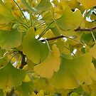 Ginkgo in the Fall by Marjorie Wallace
