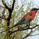 (Southern) Carmine Bee-eater Merops nubicoides by Magriet Meintjes