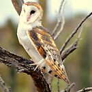 Barn Owl II by loiteke