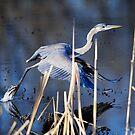 Blue Heron by Bill Miller