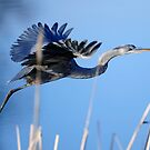 Blue Heron Two by Bill Miller