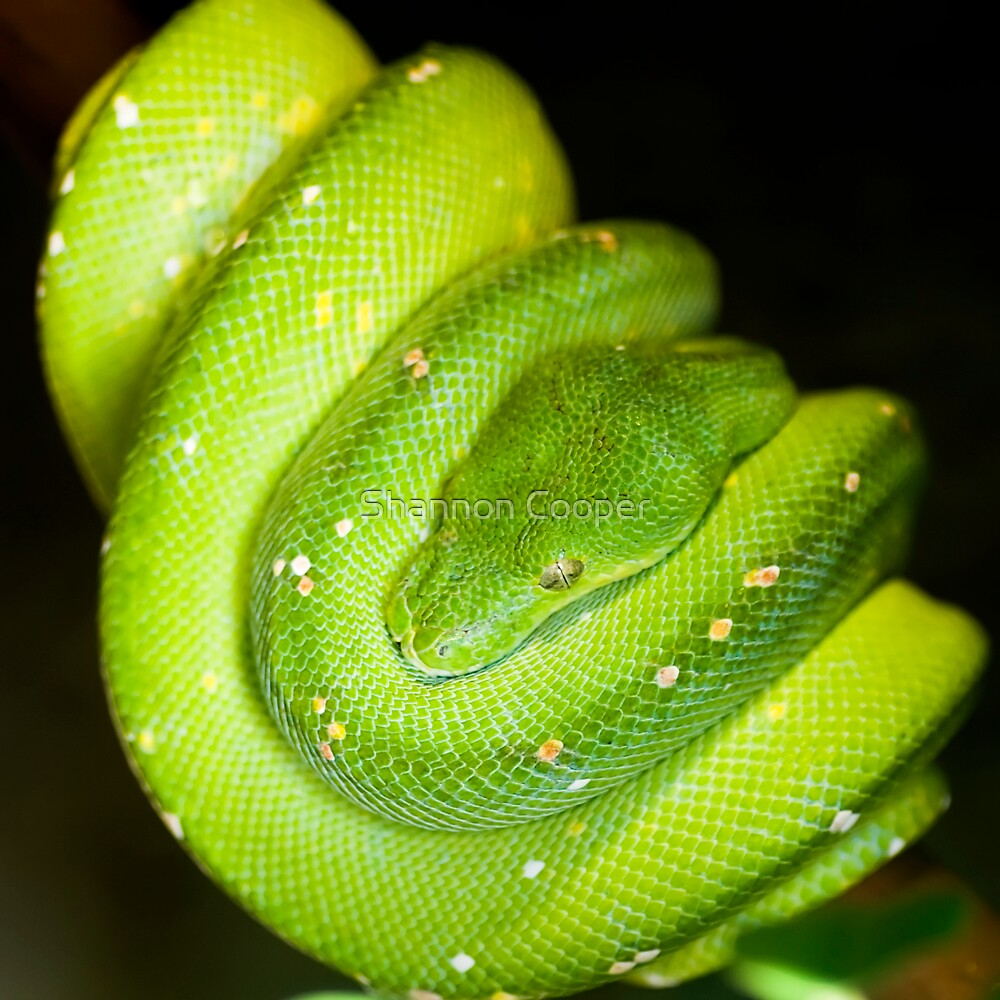Green Tree Boa by Shannon Beauford