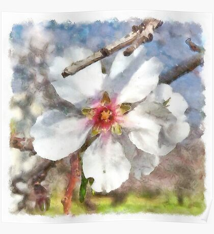 Almond Blossom Study Watercolor Poster