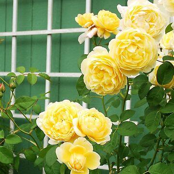 David Austin yellow rose by windflowers43