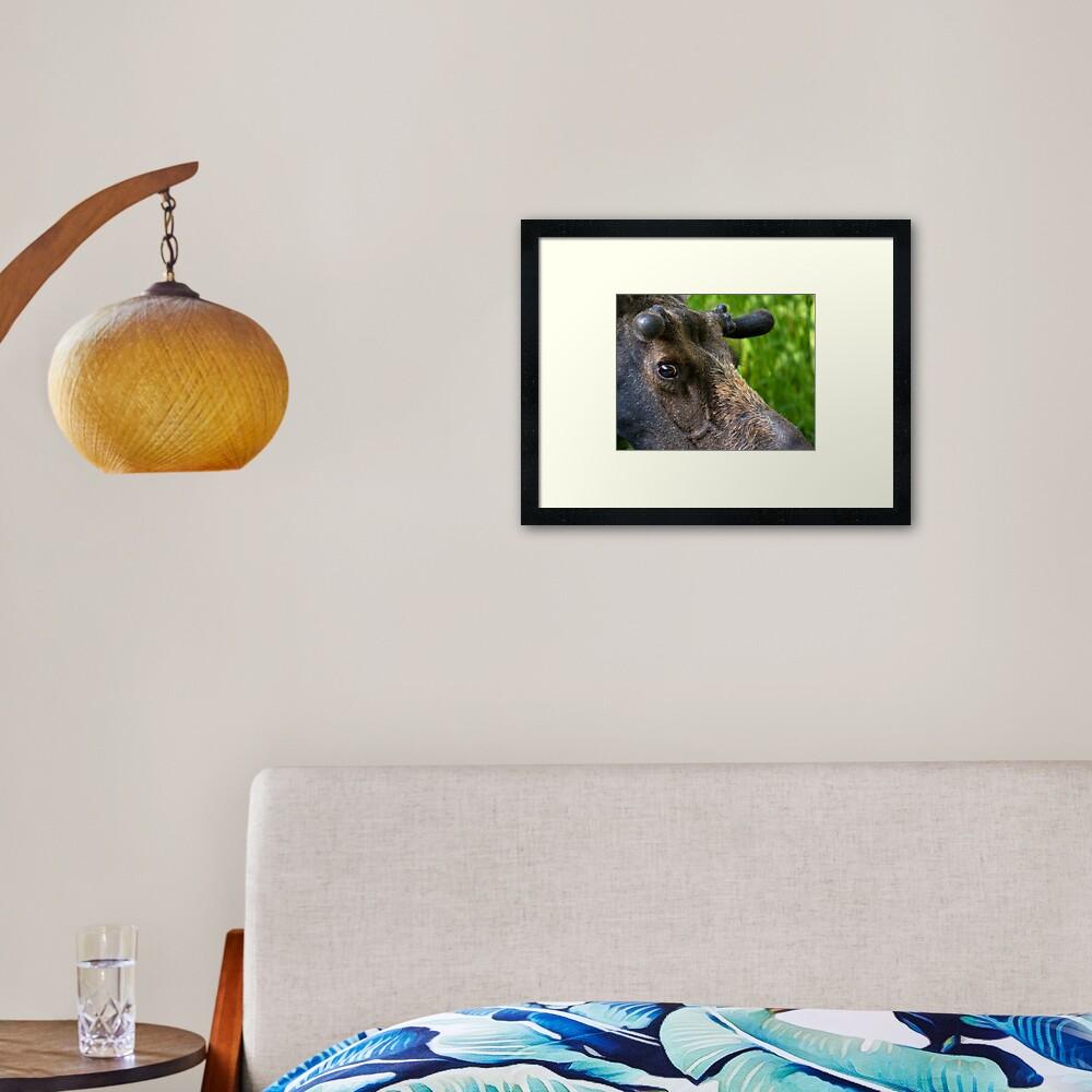 Moose Bull In Velvet Framed Art Print