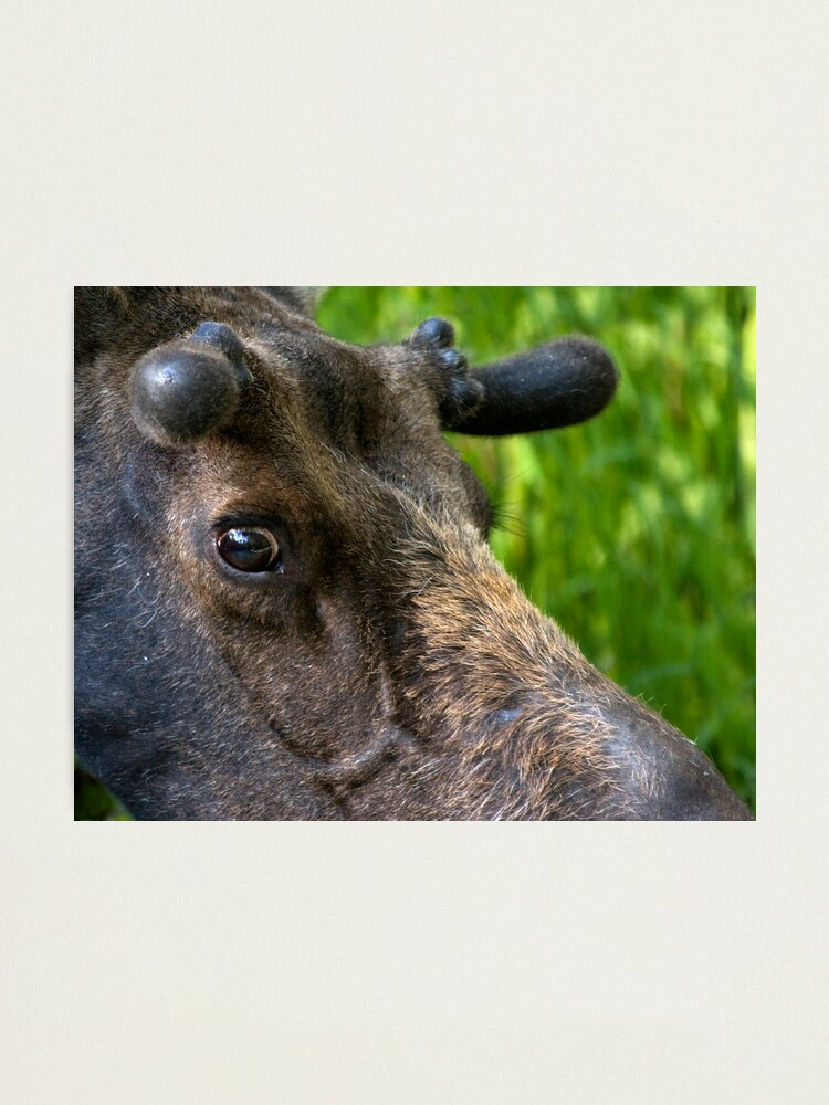 Alternate view of Moose Bull In Velvet Photographic Print