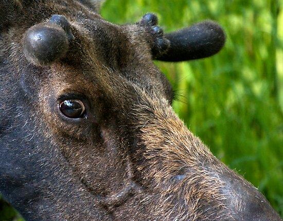 Moose Bull In Velvet by A.M. Ruttle