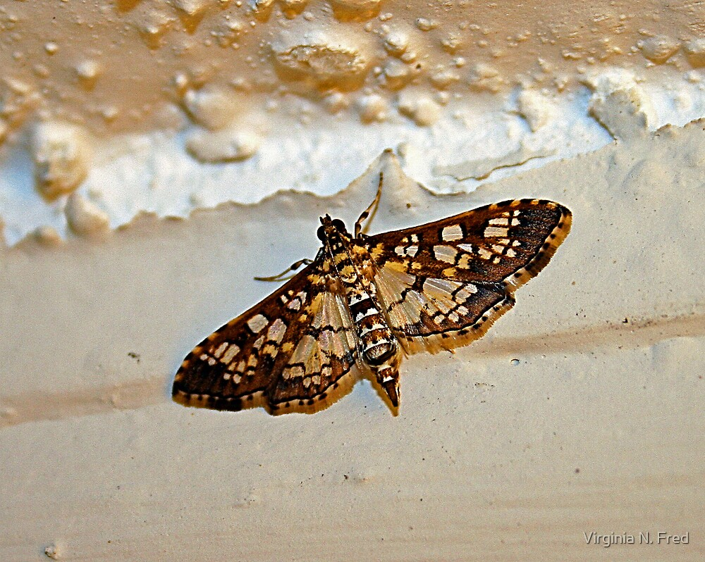 Common Checkered-Skipper by Virginia N. Fred