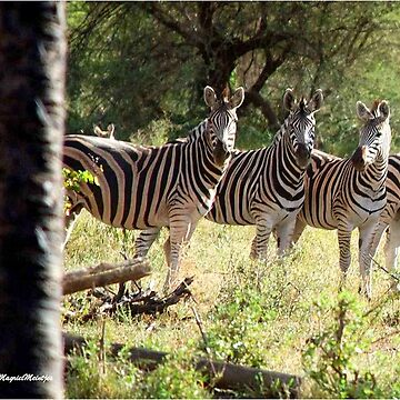 ARE WE SUPPOSE TO SMILE - BURCHELL'S ZEBRA – Equus burchelli – Bontkwagga by mags