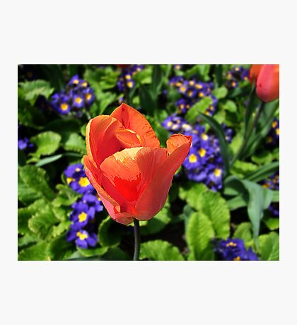 Just a Tulip Photographic Print