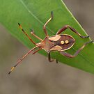 Crusader Bug Nymph by Andrew Trevor-Jones