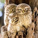 Spotted Owlets by Werner Padarin