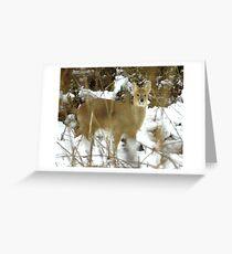Chinese Water Deer                (Hydropotes inermis inermis) Greeting Card