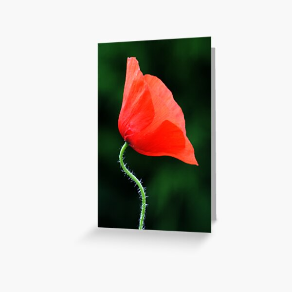 Poppy Nº 1 (papaver rhoeas) Greeting Card