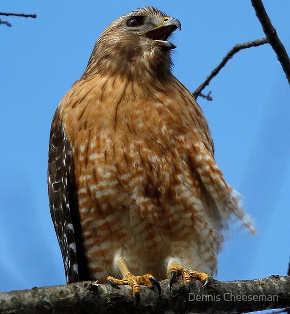 Red Shouldered Hawk  by Dennis Cheeseman