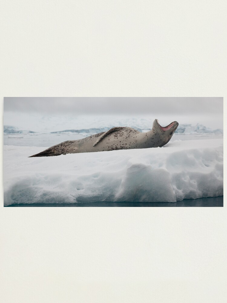 Alternate view of Leopard Seal Photographic Print