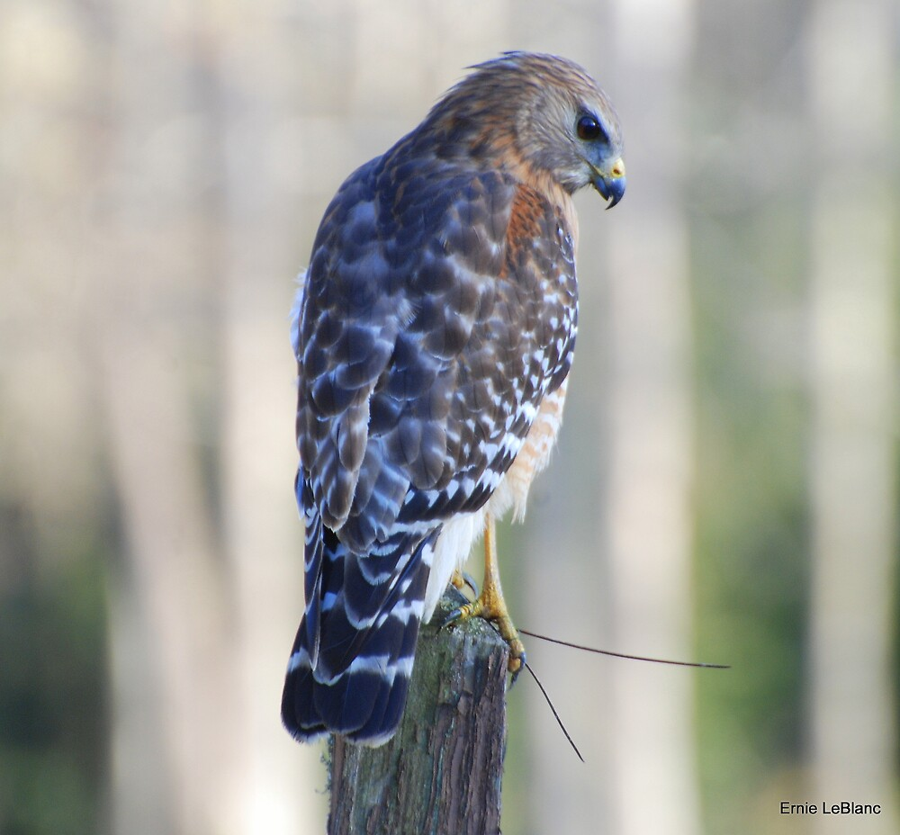 Red Shoulder Hawk by Irvin Le Blanc